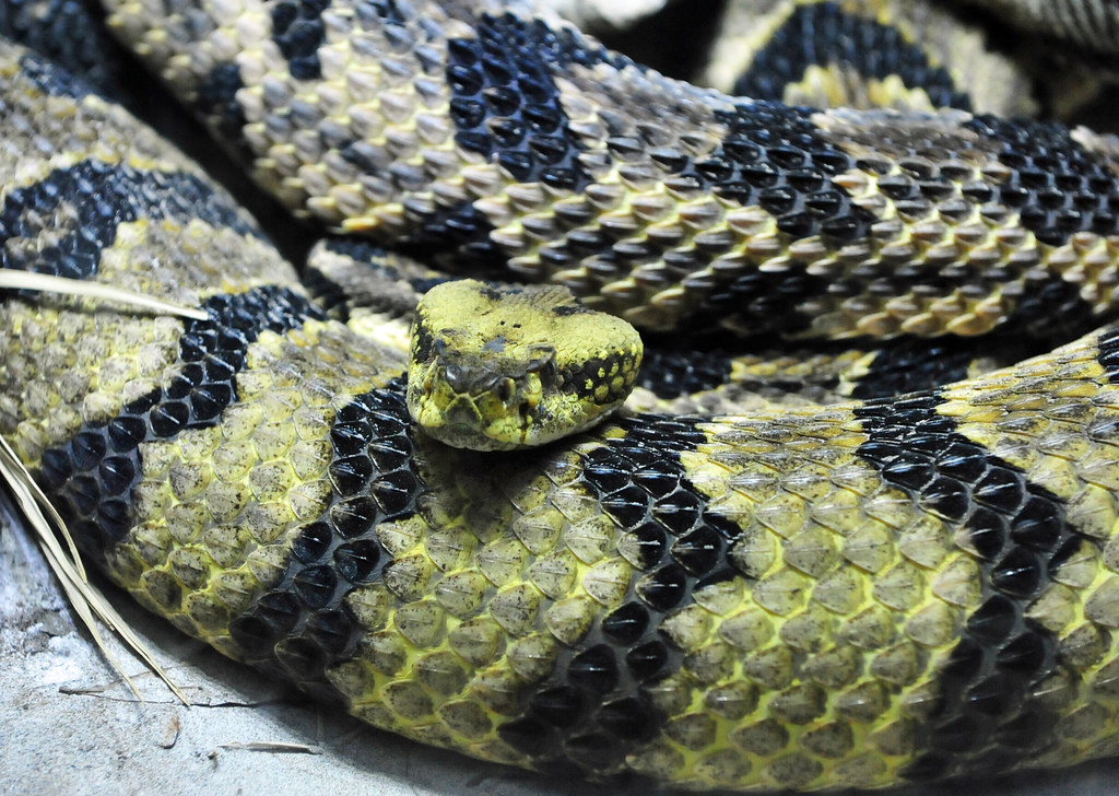 Snakes you might come across in Alabama - Timber Rattlesnake