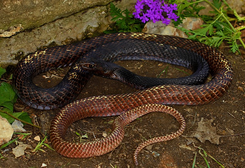 Snakes you might come across in Alabama -Eastern Coachwhip