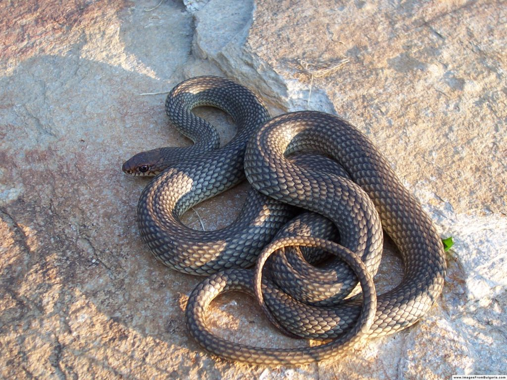 Snakes you might come across in Alabama