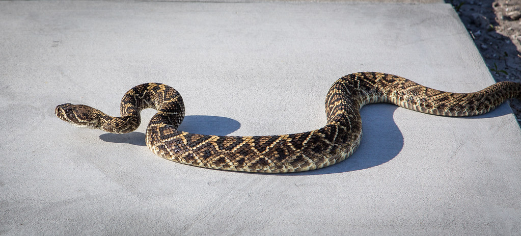 Snakes you might come across in Alabama -Eastern Diamond-backed Rattlesnake